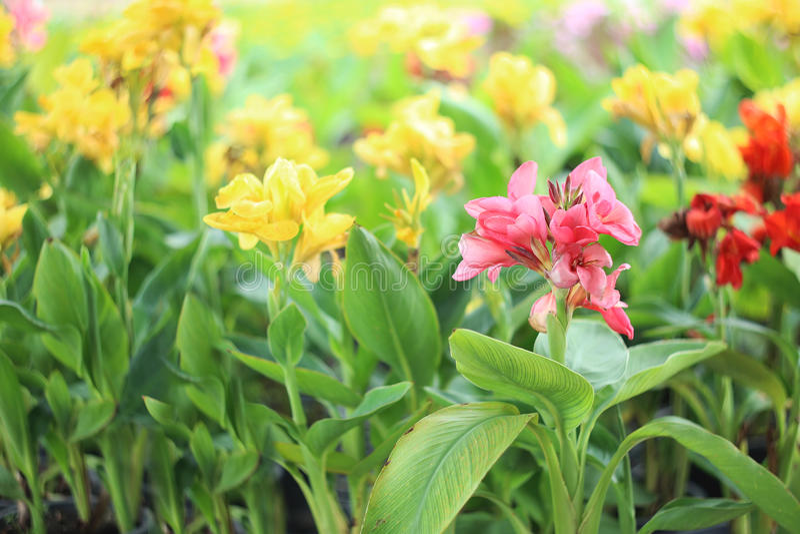 Kolorowa lelui kanna kwitnie w rośliny pepinierze fotografia stock