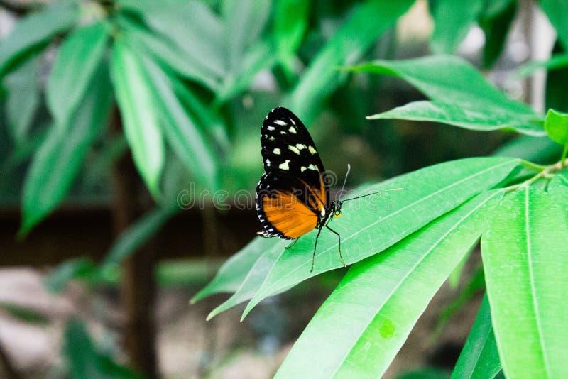 Kolorowa motylia pozycja na zielonym liściu zdjęcia royalty free