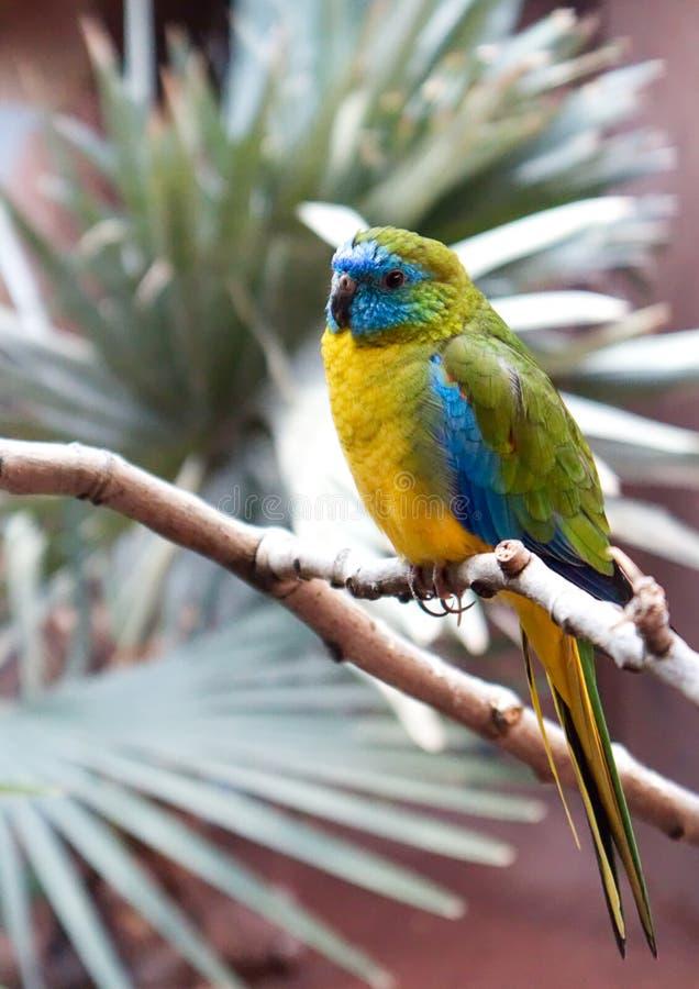 Kolorowa papuga z koloru żółtego, zieleni i błękita okładkowymi parots, upierza obrazy stock