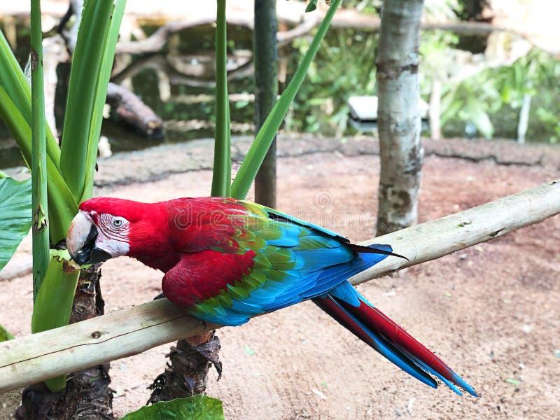 Kolorowa papuzia papuzia ara Szkar?atna ara zdjęcie royalty free