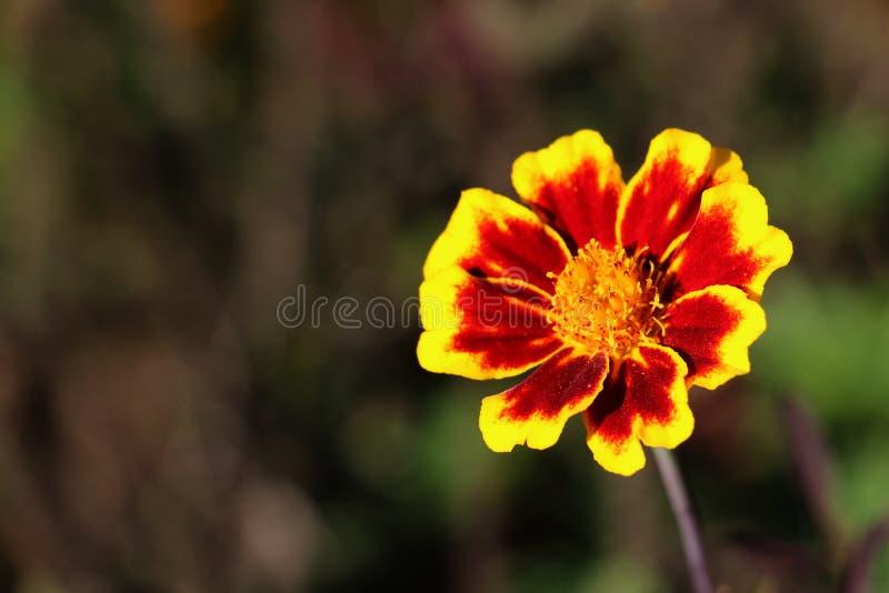 Kolorowa pomarańcze i żółty kwiat na zamazanym tle fotografia stock