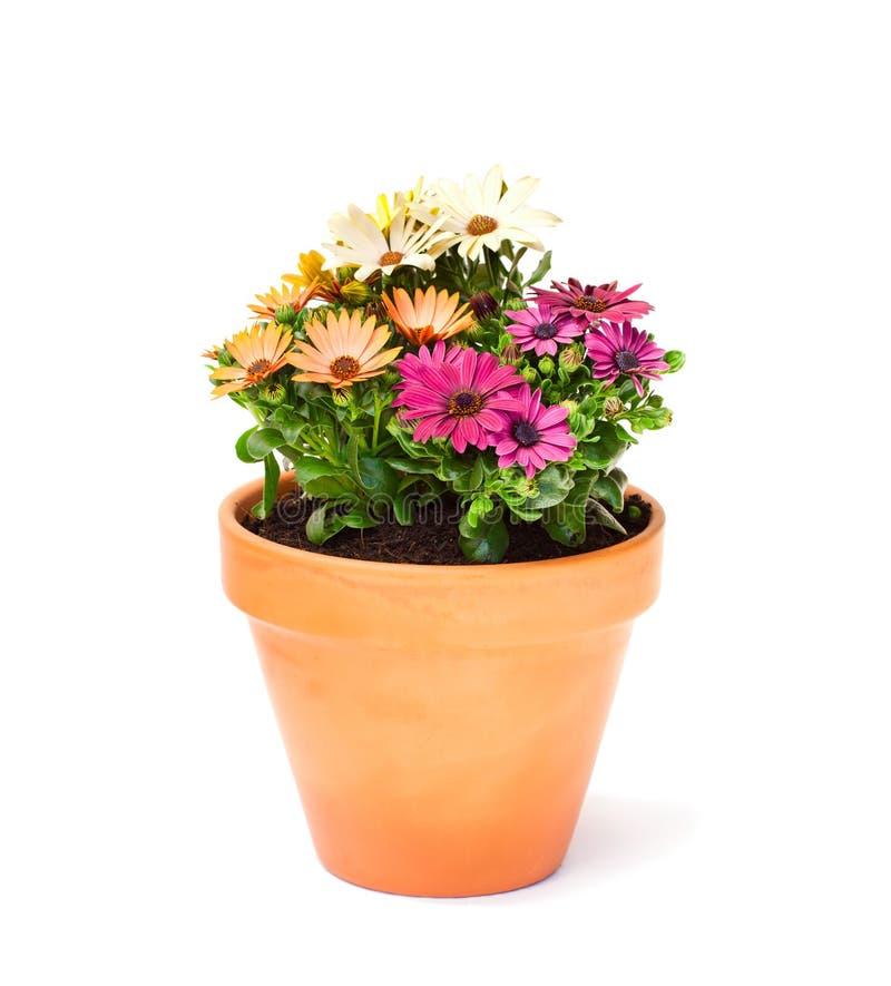 Kolorowa przylądek stokrotka kwitnie w ceramicznym flowerpot odizolowywającym obrazy royalty free
