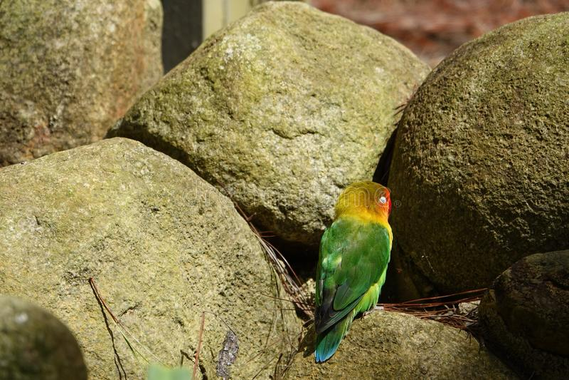 Kolorowa ptaka agapornis papuga i nierozłączka fotografia royalty free