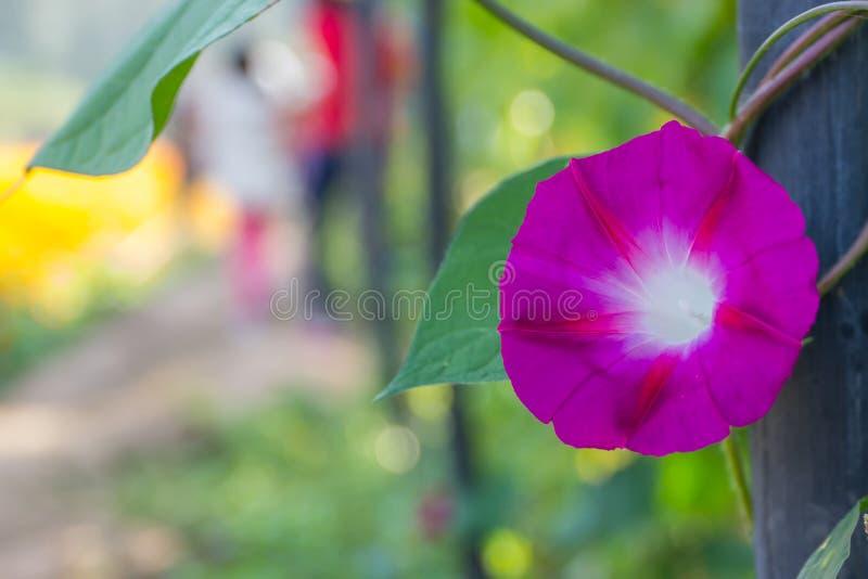 Kolorowa ranek chwała fotografia royalty free