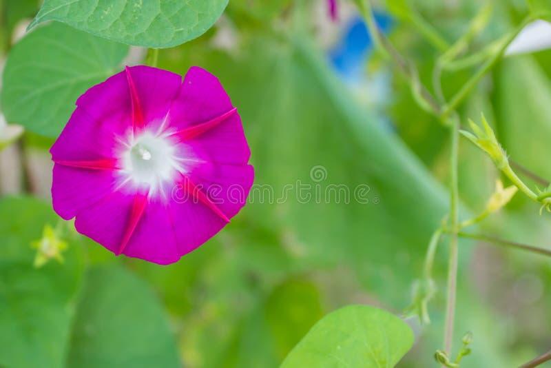 Kolorowa ranek chwała zdjęcie royalty free