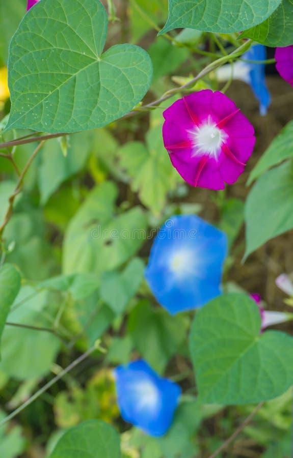 Kolorowa ranek chwała zdjęcia royalty free