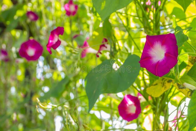 Kolorowa ranek chwała obrazy stock