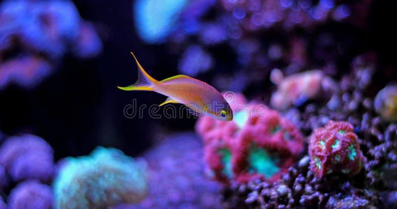 Kolorowa ryba w rafowym akwarium zbiorniku zdjęcia stock