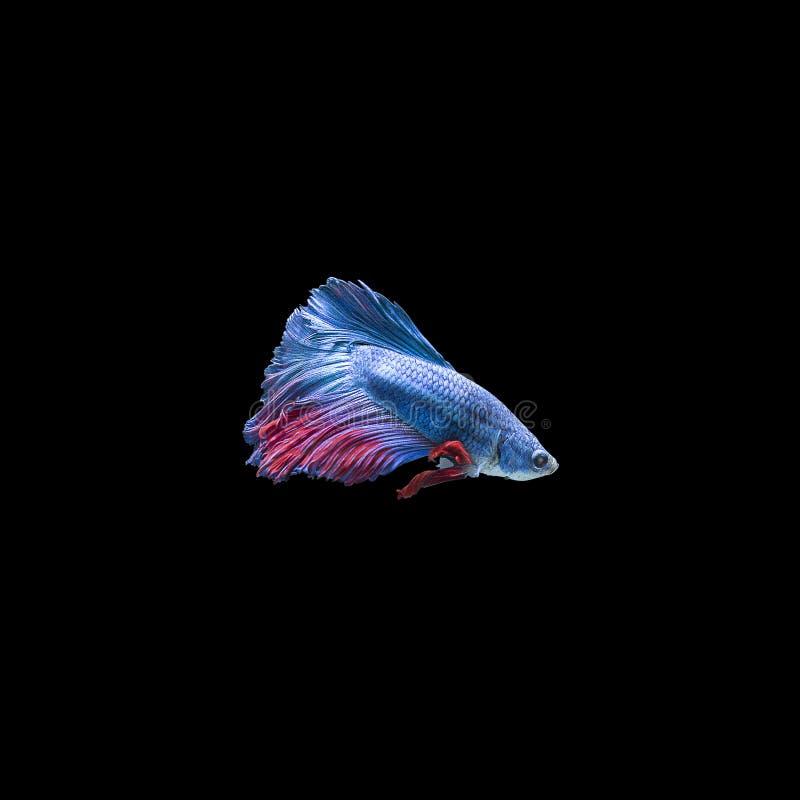 Kolorowa Siam boju ryba zdjęcia royalty free