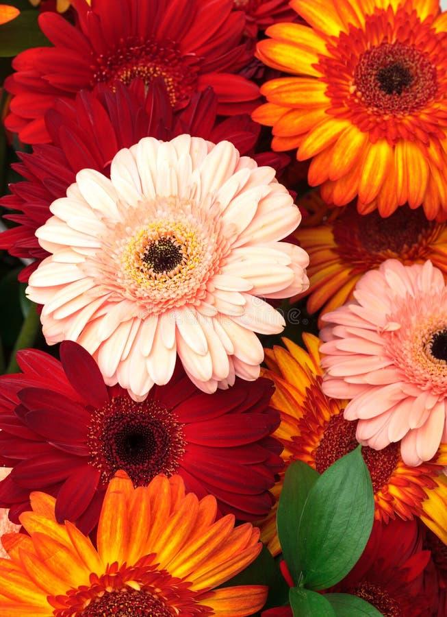 kolorowa stokrotka kwitnie gerbera wibrującego obrazy royalty free
