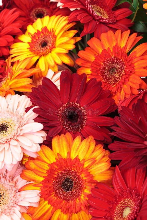kolorowa stokrotka kwitnie gerbera wibrującego obraz royalty free