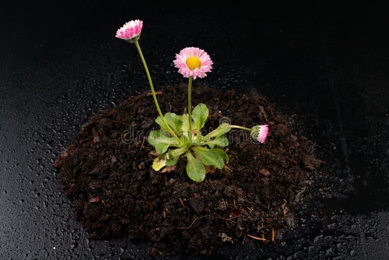Kolorowa stokrotka z podeszczowymi kroplami Pi?kny ma?y kwiat w powiekszaniu obraz royalty free