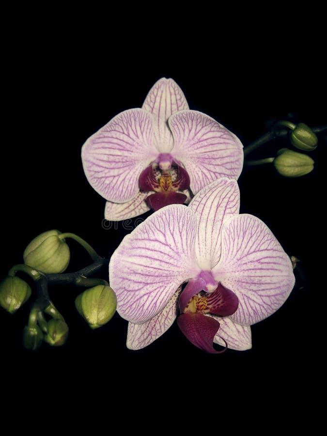 Kolorowa storczykowa phalaenopsis gałąź odizolowywająca na czerni zdjęcia stock