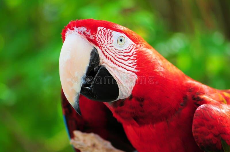 Kolorowa szkarłatna ara zdjęcie royalty free