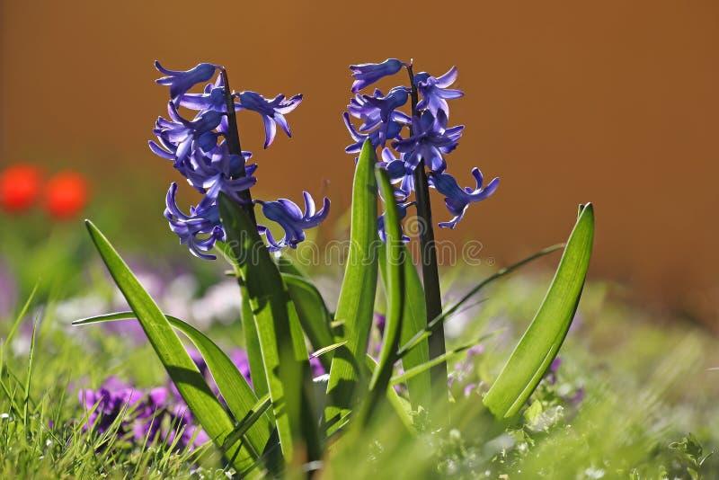Kolorowa wiosna kwitnie tło obrazy royalty free