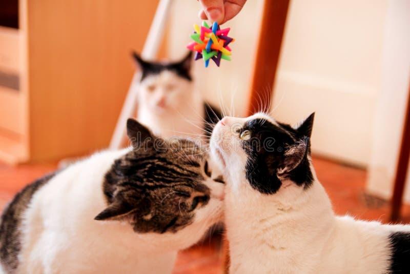 Kolorowa zabawka bawić się z ślicznymi domowymi kotami Zabawka dla kotów obrazy stock
