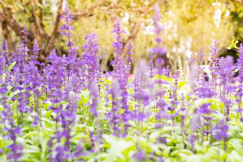 Kolorowe Błękitne szałwie kwitną łąkowego wiosny natury tło dla graficznego i karcianego projekta fotografia stock