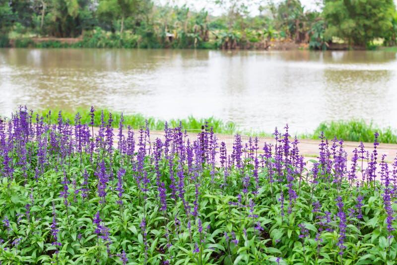 Kolorowe Błękitne szałwie kwitną łąkowego wiosny natury tło dla graficznego i karcianego projekta zdjęcia royalty free