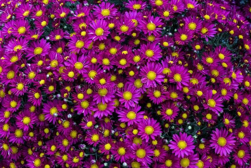 Kolorowe chryzantemy w postaci balowego chryzantema szczegółu zdjęcie royalty free