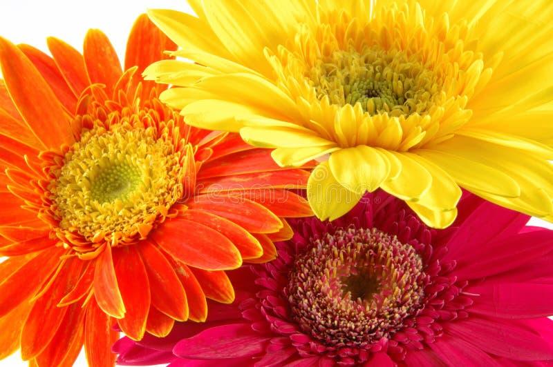 kolorowe daisy gerber zdjęcia stock