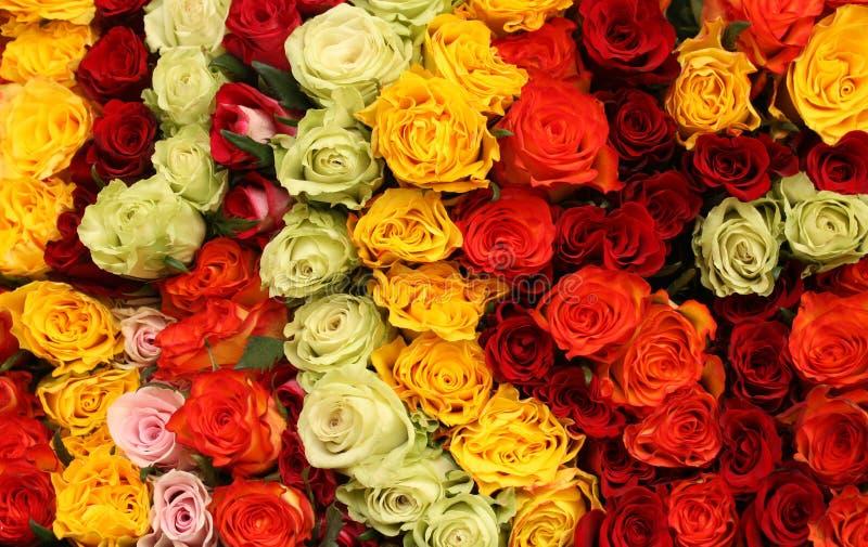 kolorowe obfitość róże zdjęcie stock