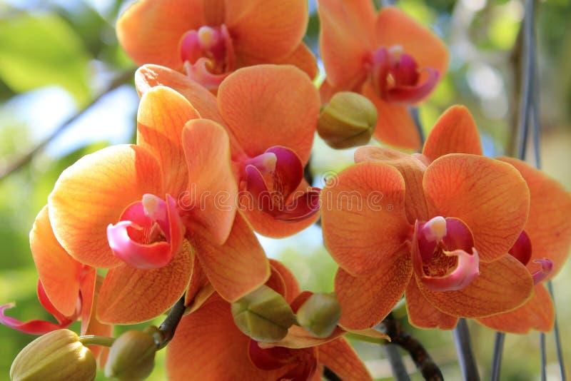 Kolorowe orchidee wiesza od drzewa obraz royalty free