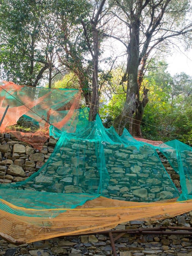 Kolorowe sieci pod drzewami oliwnymi zbiera owoc robić olejowi zdjęcie stock