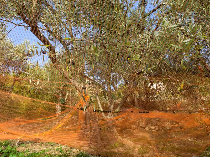 Kolorowe sieci pod drzewami oliwnymi zbiera owoc robić olejowi fotografia stock