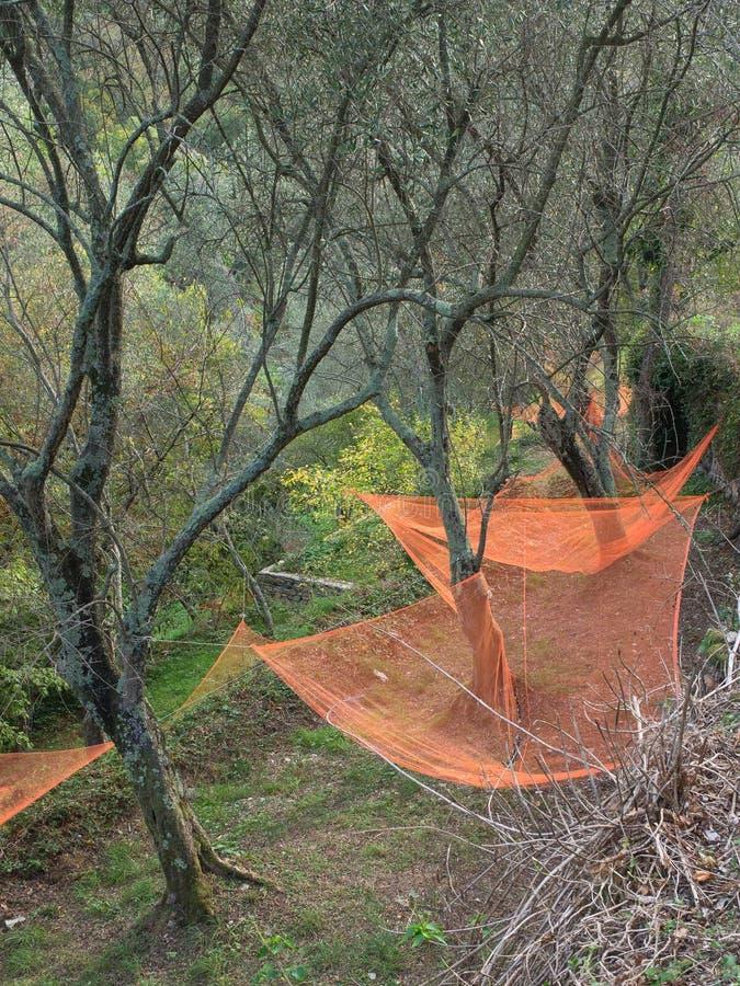 Kolorowe sieci pod drzewami oliwnymi zbiera owoc robić olejowi obrazy royalty free