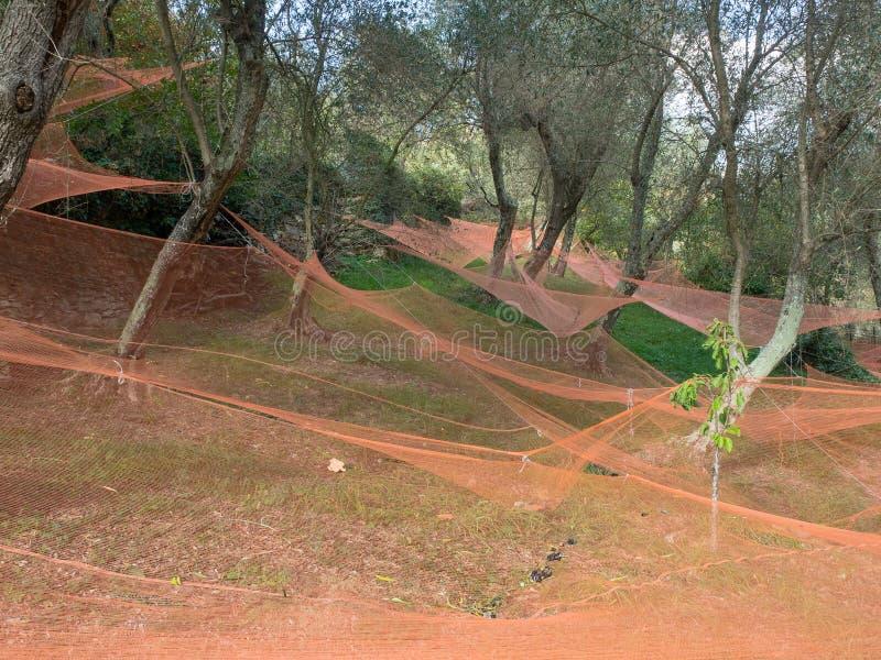 Kolorowe sieci pod drzewami oliwnymi zbiera owoc robić olejowi zdjęcia royalty free