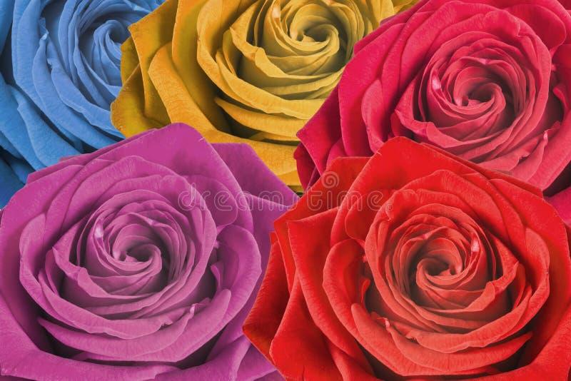 kolorowe tło róże obrazy royalty free