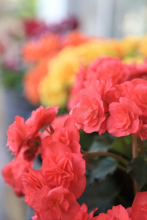 Kolorowi begonia kwiaty, lata ogrodowy t?o zdjęcie royalty free
