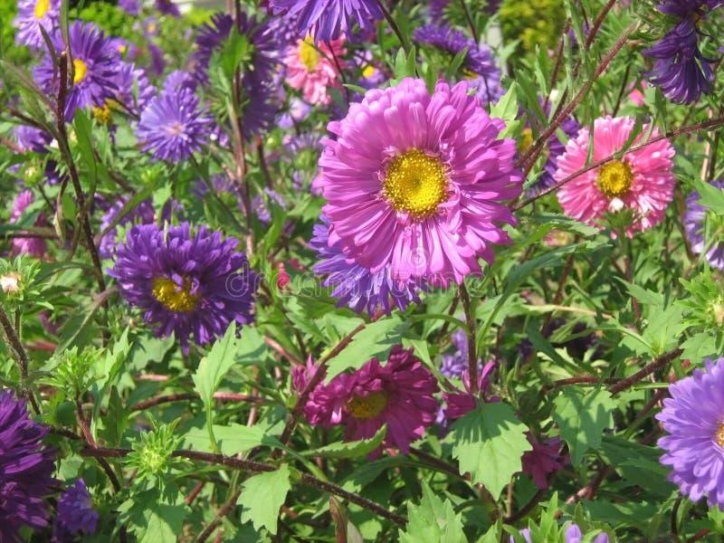 kolorowi chryzantema kwiaty zdjęcie stock