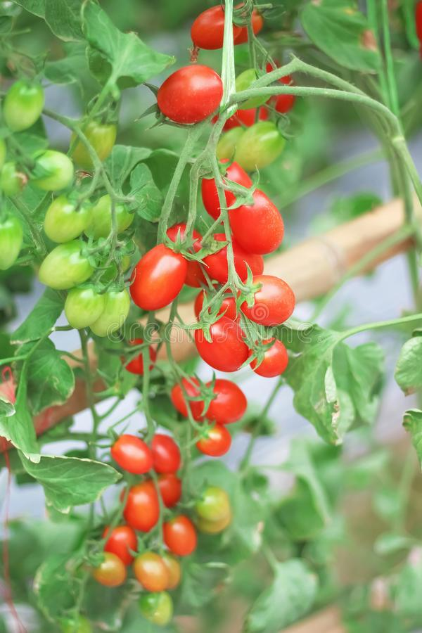 Kolorowi czerwoni i zieleni pomidory wiesza na drzewach w organicznie warzywa gospodarstwie rolnym, natury tło fotografia royalty free