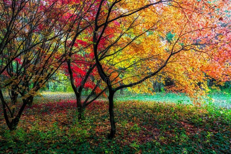 Kolorowi czerwoni jesień liście na drzewach zdjęcia stock