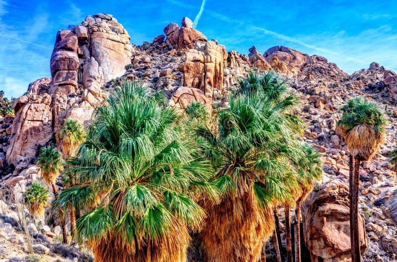 Kolorowi fan drzewka palmowe w Joshua drzewie obrazy royalty free