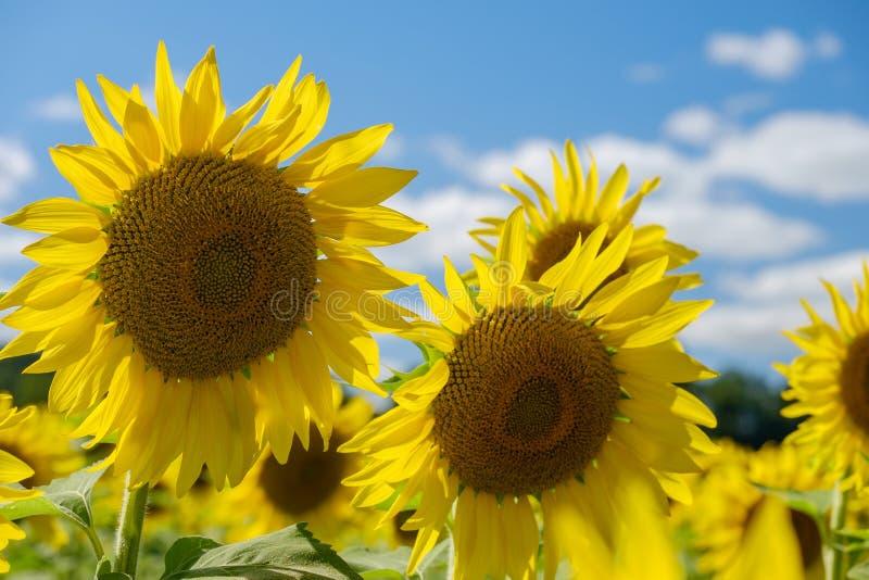 Kolorowi jaskrawi słoneczniki na pięknym popołudniu zdjęcie stock