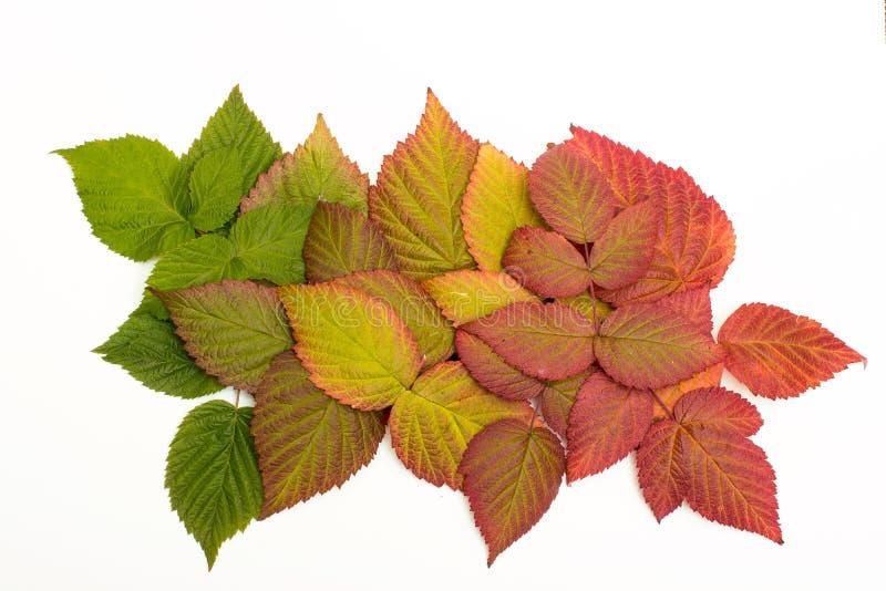kolorowi jesień liść oceniać isolate zdjęcie stock