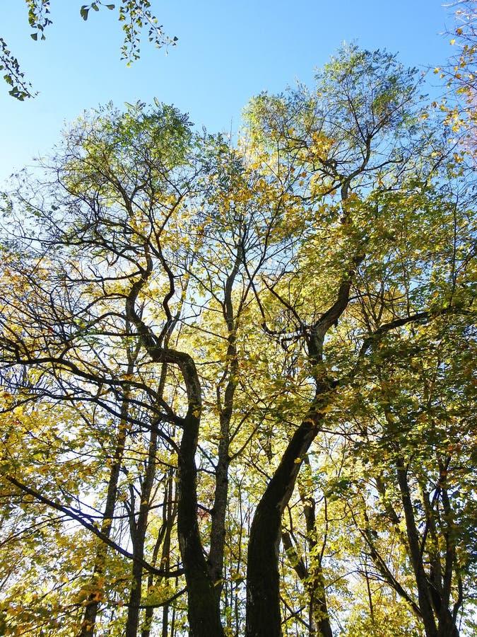 Kolorowi jesieni drzewa, Lithuania zdjęcie stock