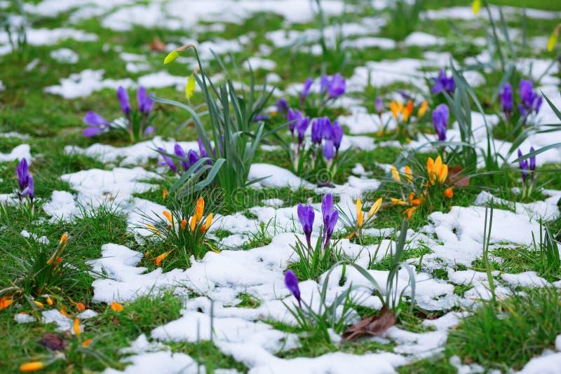 Kolorowi krokusy i śnieg obraz royalty free