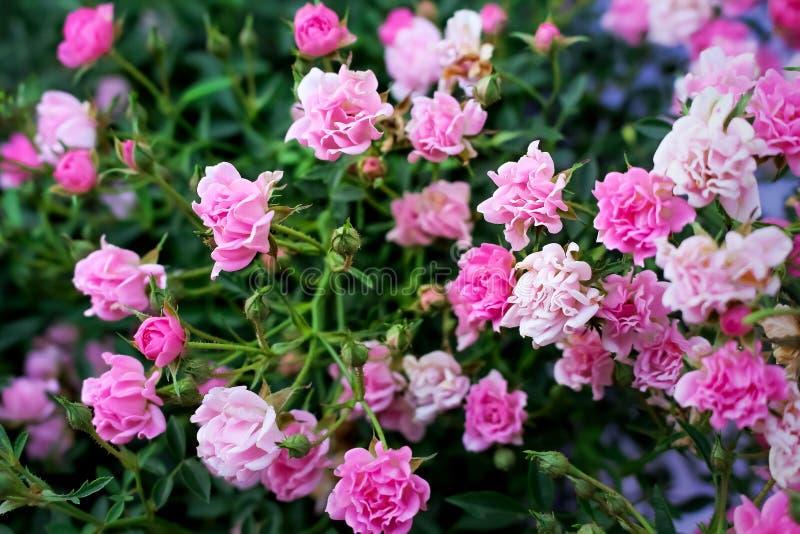 Kolorowi kwiaty lekcy i ciemne cukierki menchii róże kwitnie z pączkiem i liśćmi w ogródzie, natury tło fotografia royalty free