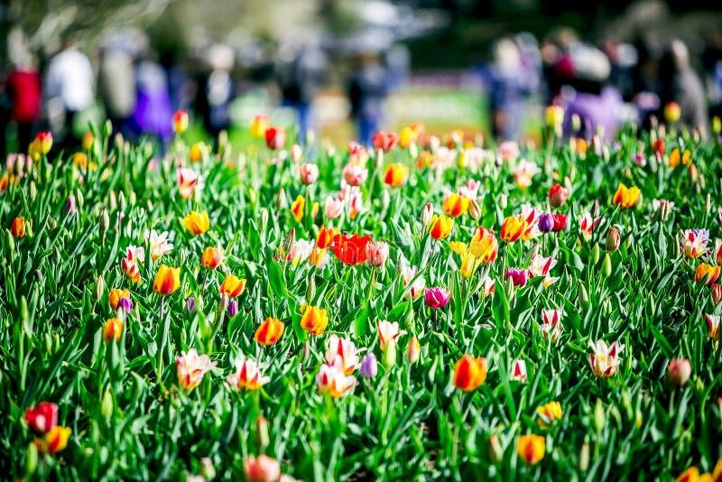 Kolorowi kwiaty w ogródzie od Holandia obraz royalty free