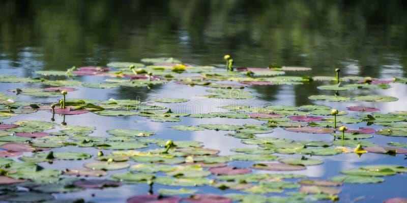 Kolorowi leluja ochraniacze unosi się w spokojnym stawie zdjęcie royalty free