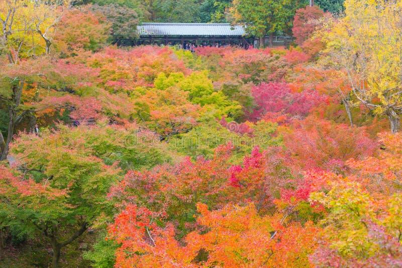 Kolorowi liści klonowych kolory Drzewni w Japonia podróży jesieni sezonie przy Tofukuji świątynią Kyoto obraz stock