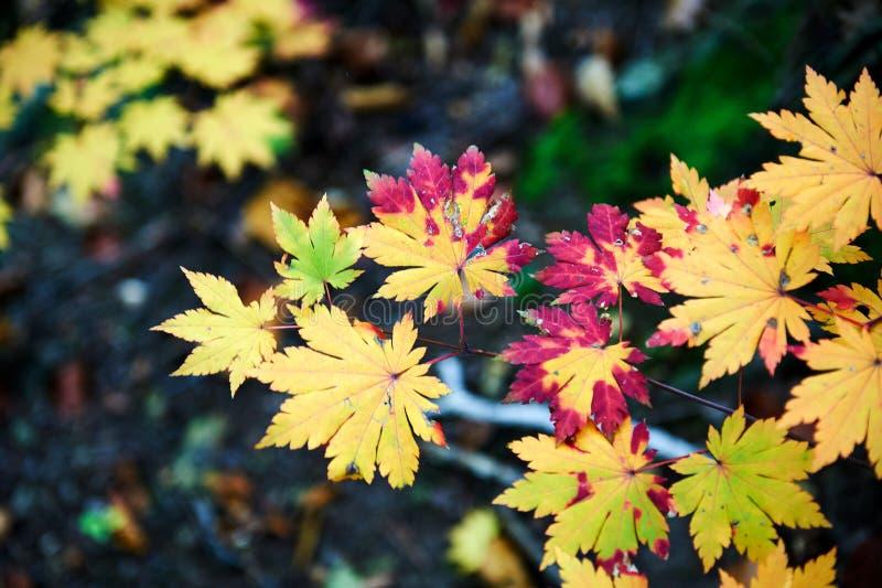 Kolorowi liście klonowi w lesie fotografia royalty free