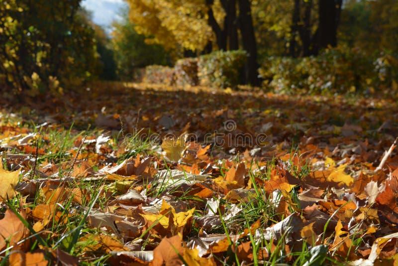 Kolorowi liście klonowi w pięknym parku w jesieni obraz royalty free