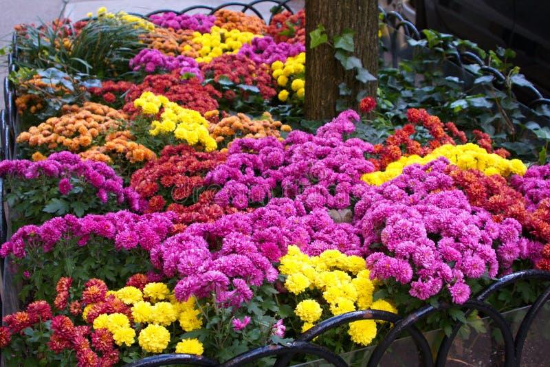 Kolorowi Mums w chodniczka kwiatu łóżku obrazy stock