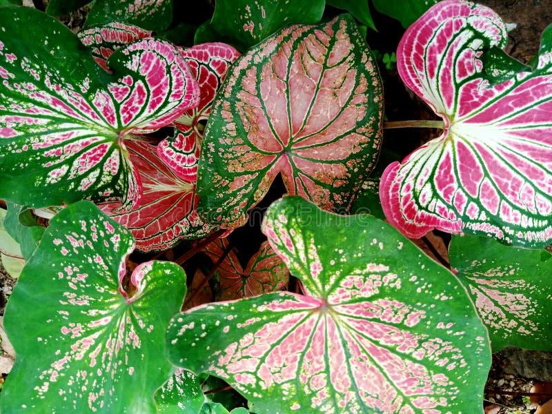 Kolorowi ornamentacyjni liście Caladium C bicolor królowa lub Obfitolistny rośliien menchie, biały i zielony, liścia tekstury bac obrazy royalty free
