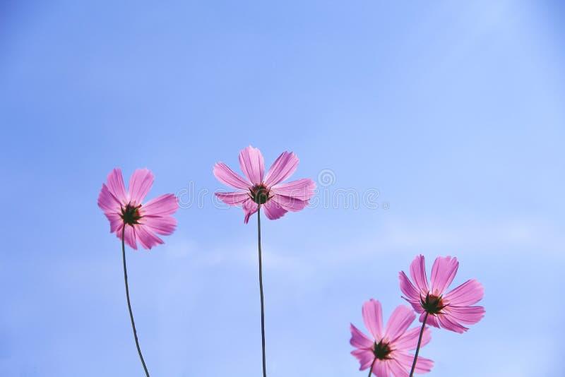 Kolorowi różowi kosmosów kwiaty kwitnie z odbiciem od słońca na żywych niebieskiego nieba i światła chmurach dla tła obraz stock