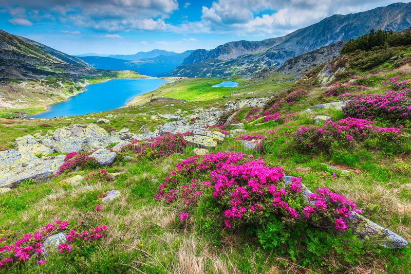 Kolorowi różowi różaneczników kwiaty i Bucura jezioro, Retezat góry, Rumunia zdjęcia royalty free